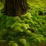 西芳寺(苔寺)への予約申し込み方法やアクセスは?緑の絨毯が美しい京都苔寺に行って来ました!
