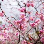 北野天満宮の梅まつり「梅花祭」へ行って来たよ!見頃はいつ?