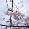 京都醍醐寺の早咲きの河津桜と雨月茶廊でランチ!