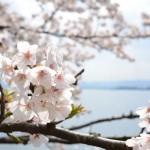 海津大崎へのアクセス方法は?滋賀の桜の名所へ見ごろのお花見へ行って来ました!