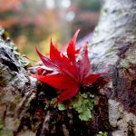 有馬グランドホテル花のれんのランチと瑞宝寺公園へ見頃の紅葉に行ってきたよ!