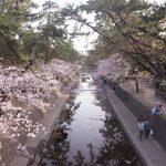 夙川公園で桜の満開の花見は絶景!ミヤナガのパンも絶品!